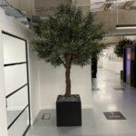 Cuttsy Olive Tree Custom