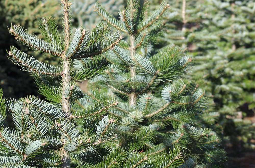 Superplants Christmas trees
