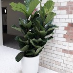 Ficus Lyrata by Superplants