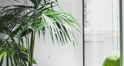 All about… Kentia palms