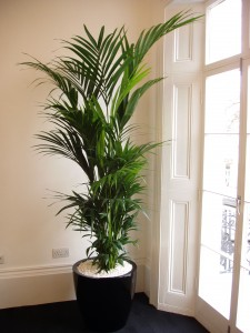 Kentia palm by Superplants