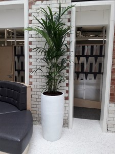 Kentia palm in white container - display by Superplants