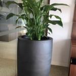 Spathiphyllum (peace lily) BLACKSTONE
