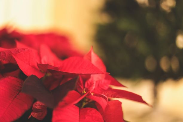 How to keep your festive Poinsettia thriving this Christmas and beyond