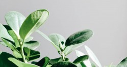 Ficus Lyrata, Fiddle Leaf Fig Care Instructions