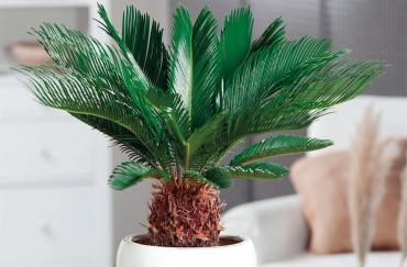 Cycas Revoluta; The palm like, yet not palm tree!