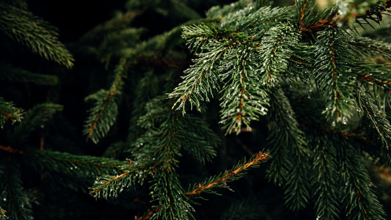 Superplants Christmas Tree Rental