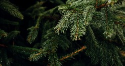 Superplants Christmas Tree Rental