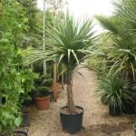 Cordyline Australis Mature Superplants