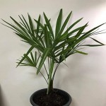 Trachycarpus Fortunei Young Superplants.